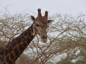 girafe_male
