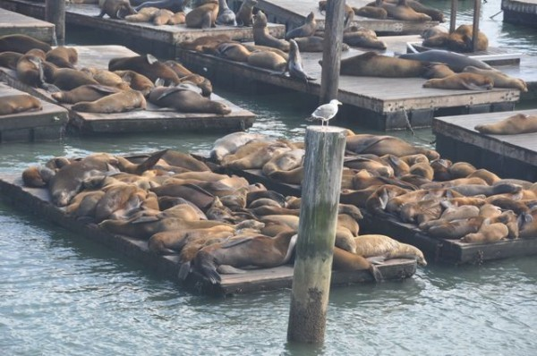 0165_otaries_pier_39_san_francisco
